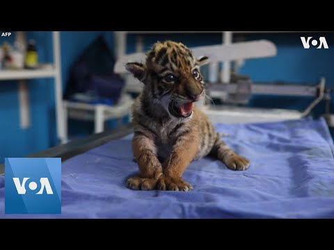 Baby Tiger Named 'Covid' Born in Mexico