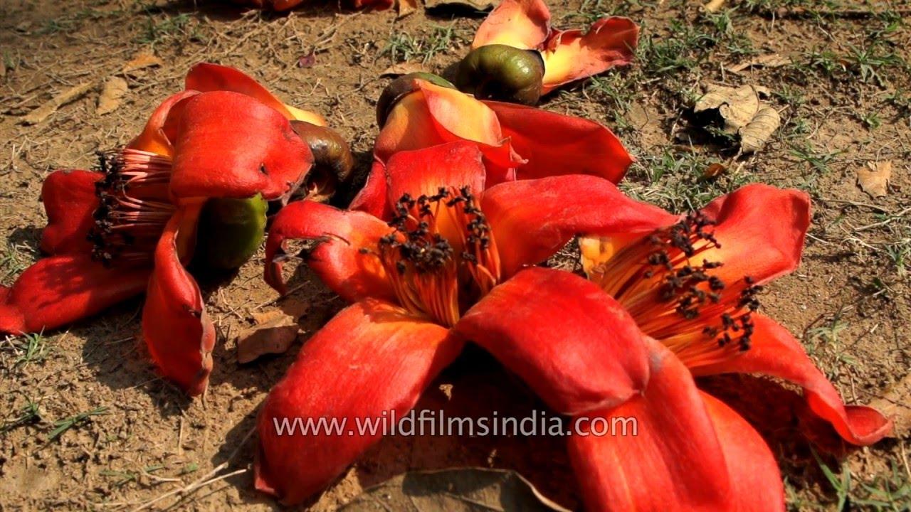 Fallen waxy flowers of sehmal silk cotton tree in indian spring fallen waxy flowers of sehmal silk cotton tree in indian spring mightylinksfo