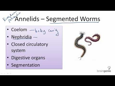 13.3.6 Annelids - Segmented Worms