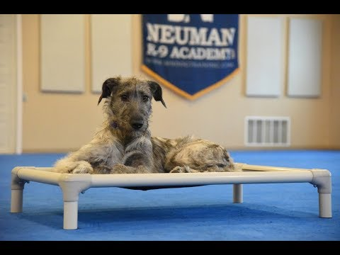 Leona (Irish Wolf Hound) Puppy Camp Dog Training Video Demonstration