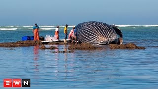 Scores of holidaymakers gathered on Strand beach on Wednesday to catch a glimpse of a dead whale that washed up overnight.