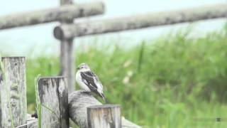ユキホオジロ(1)霧多布(北海道) - Snow Bunting - Wild Bird - 野鳥 動画図鑑