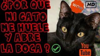 Por Qué Mi Gato Me Huele Y Se Queda Con La Boca Abierta Fauna Indoor Youtube