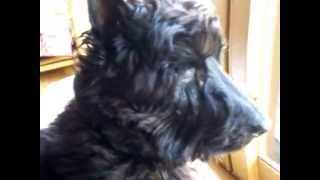 時折、親戚から預かるスコティッシュ・テリア犬で年齢は11歳雄の名前...