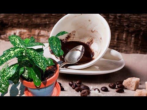 КОФЕ для цветов! Кофейная гуща как средство для удобрения!