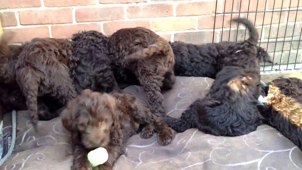 Chocolate Labradoodle Puppies At 8 Weeks Old Youtube