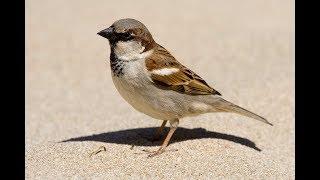 House Sparrow | House Sparrow Song | House Sparrow Sounds
