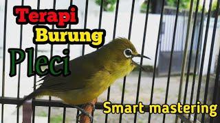 Terapi Burung Pleci cepat ngalas (audio) #pleci #pcmi #savepleci