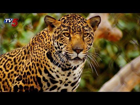 Cheetah Threat in Nizamabad : TV5 News