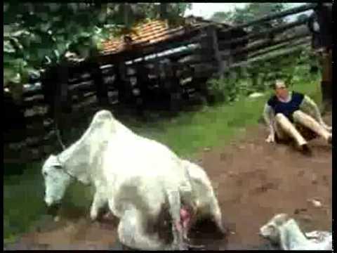 Lĩnh hậu quả vì lại gần bò mẹ vừa sinh con