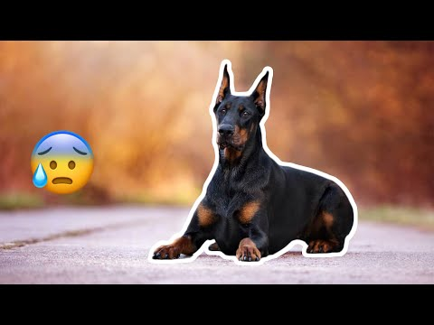 Watch This to See Why Dobermans are So CUTE Dogs!