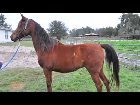 Faith Equine Rescue - Arabian Rescue Project.mov