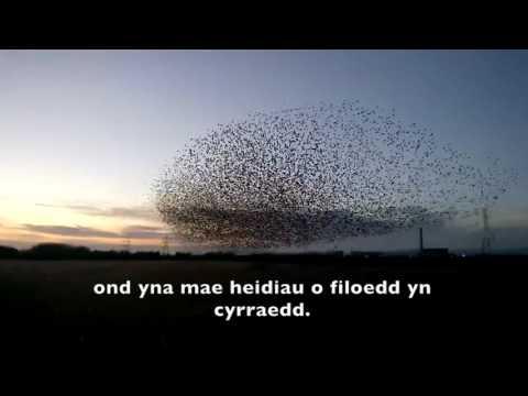 Drudwennod dihafal yn Gwarchodfa Natur Genedlaethol Gwlyptir Casnewydd