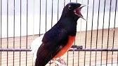 Manfaat Laron Untuk Burung Kicau Checksound Ulasan Dibawah Ini Youtube