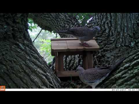 Spotted Turtle Doves feeding at new location - camera-trap