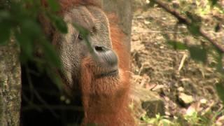 New Sumatran Orangutan-Cincinnati Zoo