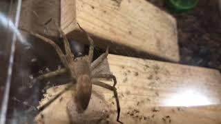 【観察動画】イオウイロハシリグモの卵嚢が弾けました!!【ぴぴんap】
