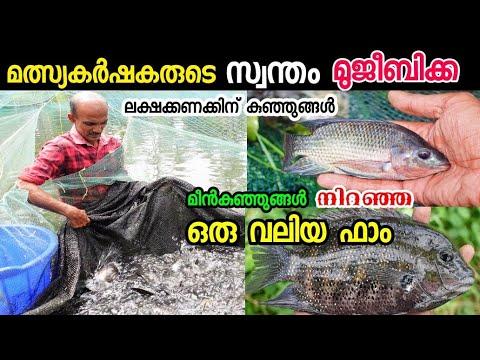 Huge profit from Kerala fish farming   തിലാപ്പിയ കരിമീൻ മത്സ്യകൃഷി   Fish Farming    Meen Valarthal