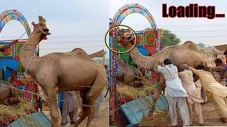 ANGRY Camel Loading Video - Loading of Camel - Camel Market Lahore Shahpur Kanjra Mandi 22 July 2021