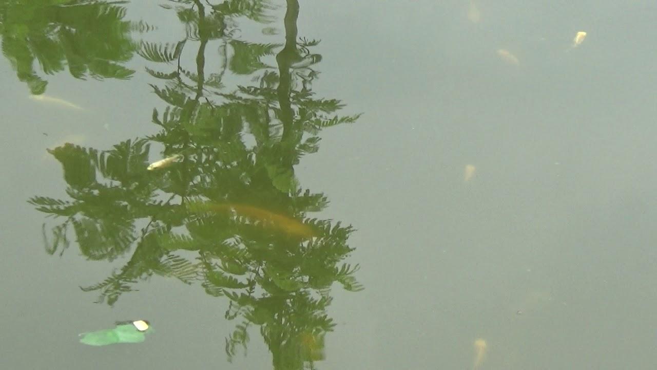 Unduh 75 Gambar Ikan Koi Kumpai Terbaru