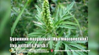 Бузинник пазушный (Ива многолетняя) (Iva axillaris Pursh.)