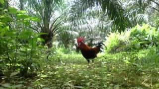 pikat ayam hutan(ayam celih racik)