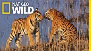 Cubs Will Be Cubs | Secret Life of Tigers