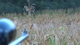 Hirsch rufen während Hirschbrunft - Cerf au brame - Wabienie jelenia byka  - Calling red stag