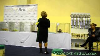 Котенок бенгальской кошки на выставке