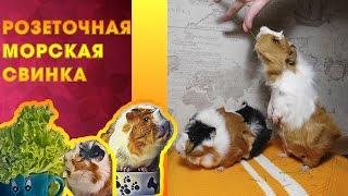 Породистая розеточная морская свинка??? #12