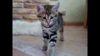 Кошки с забавным хвостом-помпоном..