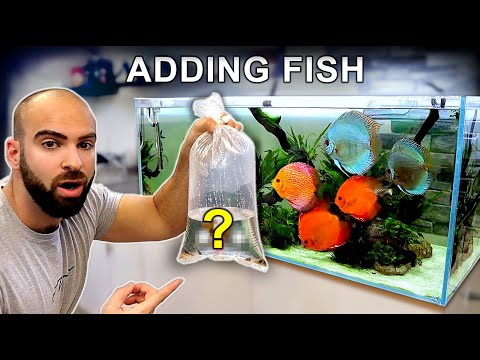 ADDING *NEW FISH* To XL DISCUS AQUARIUM! (will They Survive The Attack?!)   MD Fish Tanks