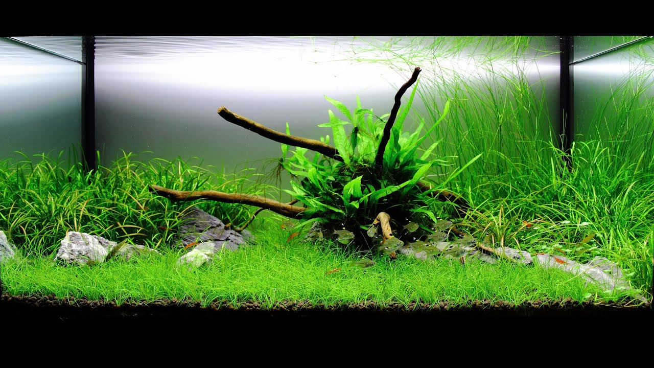 Freshwater planted aquarium serene youtube for Planted tank fish