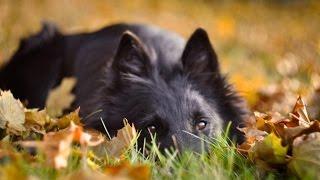 Dog tricks /Owczarek belgijski groenendael/ Belgian shepherd