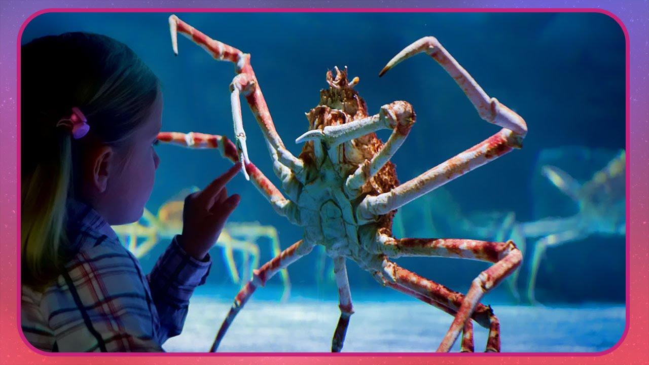 Résultats de recherche d'images pour «Crabe araignée, Nouvelle Zélande»