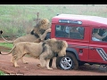 Lion Attack Car in Bannerghatta National Park, Bengaluru   Exclusive Video