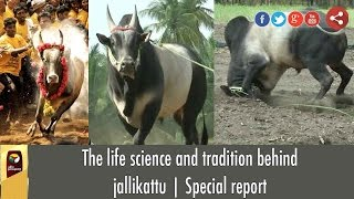The life science and tradition behind jallikattu | Special report