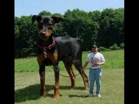 TOP 10 BIGGEST DOGS IN THE WORLD 2017 - YouTube - YouTube