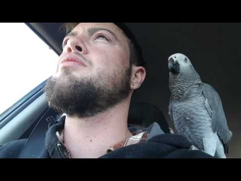African grey parrot singing along to I can see clearly now