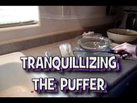 Puffer Fish - Cutting Their Teeth - Home Dentistry