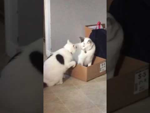 two white cats fighting