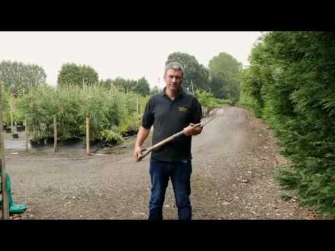 How to plant a Field Maple Tree or Hedge by Heathwood Nurseries