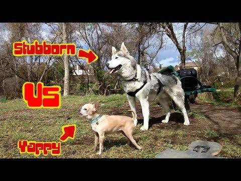 Kze Production OFFICAL Schedule !! DA RAT!!! Siberian Husky, Alpha Macho Chihuahua
