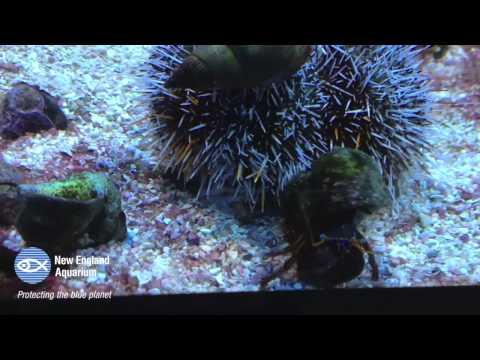Timelapse: Hermit Crab Vs. Urchin