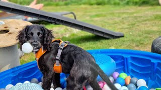 Pickle the 5 month old Cocker Spaniel puppy - 2 week residential training holiday