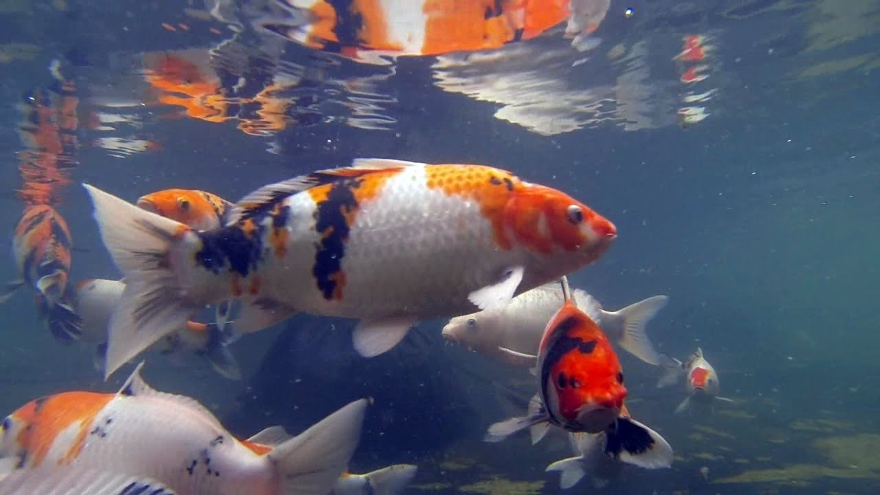Awesome koi carp swimming in pond japanese fish tropical for Japanese koi carp fish