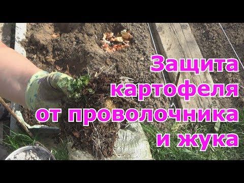 Как защитить картофель от проволочника