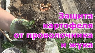 Как избавиться на картофеле от проволочника и колорадского жука