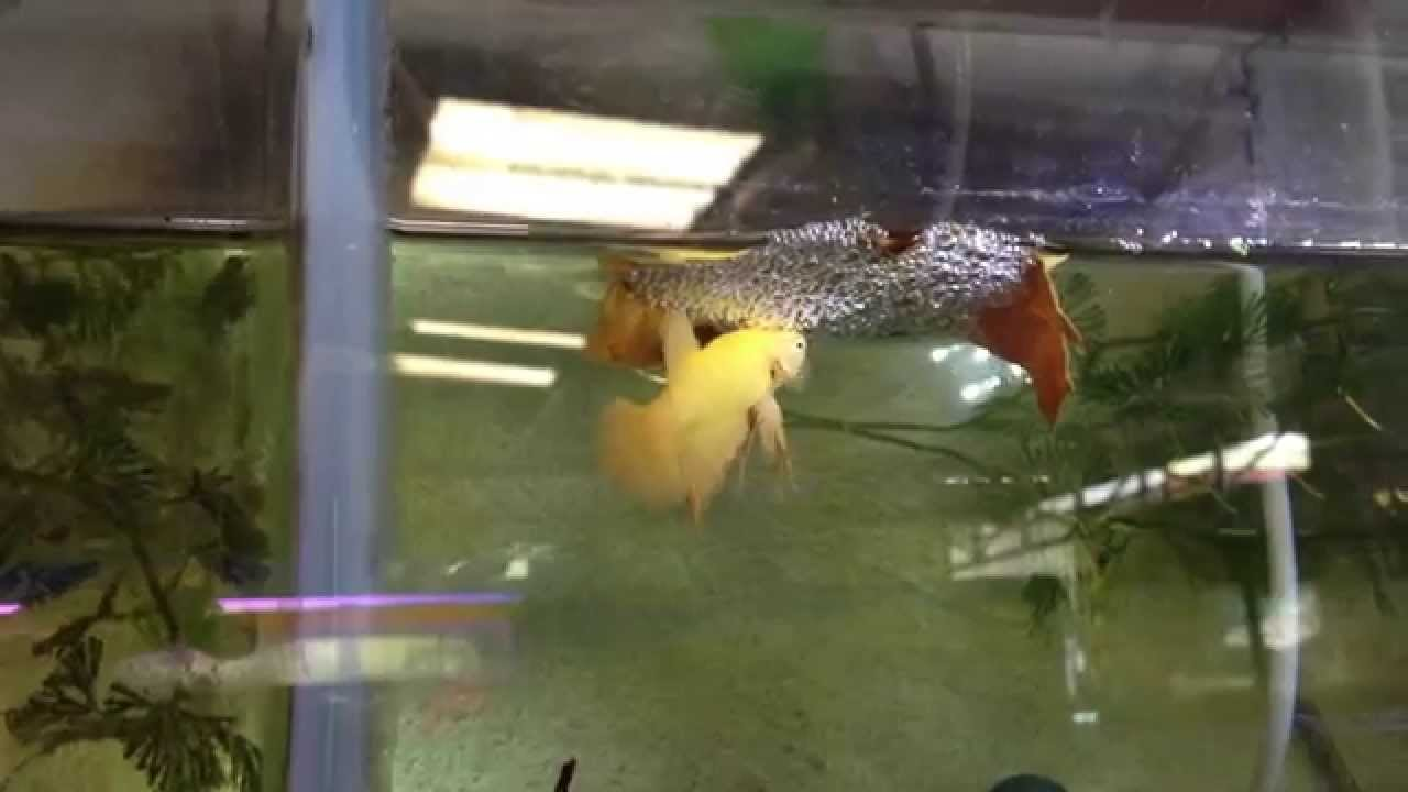 การเพาะปลากัดง่ายๆ Breeding Betta ลุงอ๋า Goldenbetta