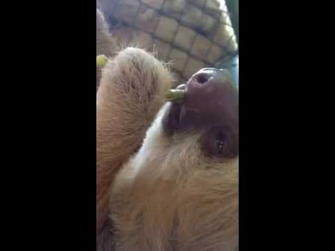 Lazy sloth falls asleep with food in her mouth... AGAIN!